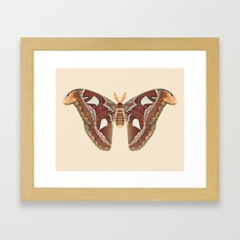 Atlas moth Framed Art Print