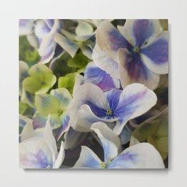 Hydrangea in Blue 3 - Close Up Like Butterflies Metal Print