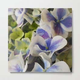 Hydrangea in Blue 3 - Close Up Like Butterflies Metal Print