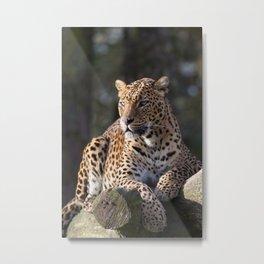 Sri Lankan Leopard Metal Print