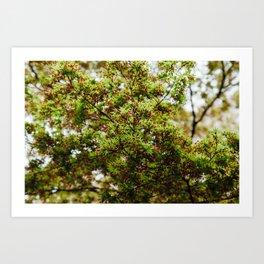 Fresh Japanese Maple Art Print