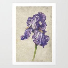 Batik Purple Striped Iris Art Print