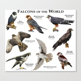Falcons of the World Canvas Print