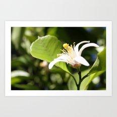 Lemon flower Art Print
