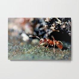 Red ant Metal Print
