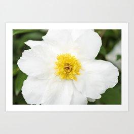 White Krinkled Peony Flower Art Print