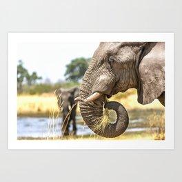 Elephant Eating Grass Art Print