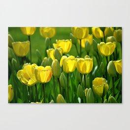 Gelbe Tulpen Canvas Print