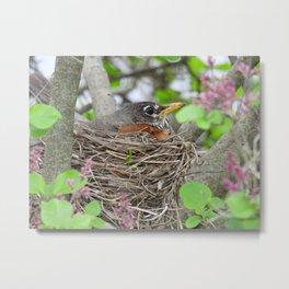 Busy Expecting #robin #bird #nature  Metal Print