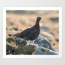 Red grouse in the wild Art Print