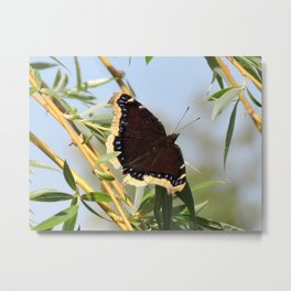 Mourning Cloak Butterfly Sunning Metal Print