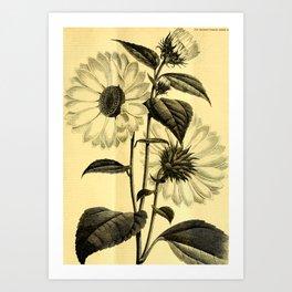 Sunflower Helianthus multiflorus 1891 Art Print