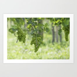 Bunch of grapes on vineyard Art Print