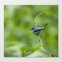 blue/gray gnatcatcher Canvas Print
