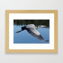 Great Blue Heron in Motion Framed Art Print