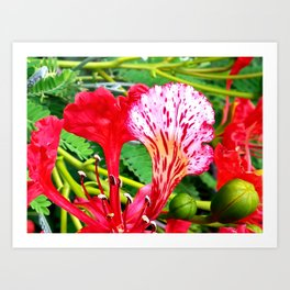 Poinciana Flower Art Print