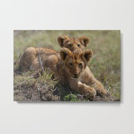Two lion Clubs At Play Metal Print