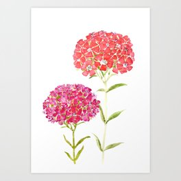 red pink purple Sweet William flower Art Print