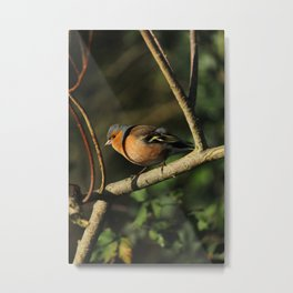 Chaffinch Donegal Ireland Metal Print
