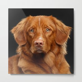 Nova scotia duck tolling retriever, New Scotland Retriever, toller dog Metal Print