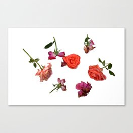 Roses, Isolated, in Different Phases of Wilting Canvas Print