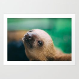 Baby Choloepus Sloth Art Print
