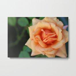 Single rose flower blooming Metal Print