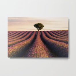 Lavender morning in Valensole Metal Print