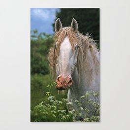 White heavy horse Canvas Print