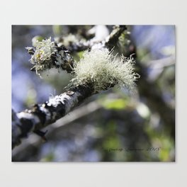A tuft of moss on a Birch tree Canvas Print