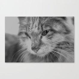 Black and White Turkish Winter Cat Canvas Print