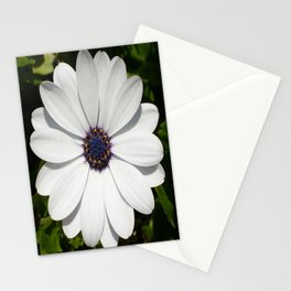 Beautiful Blossoming White Osteospermum  Stationery Cards