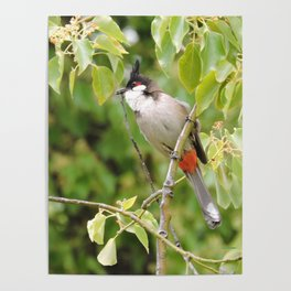 Red-Whiskered Bulbul -- 2 Poster
