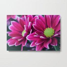 Aster Flowers Metal Print