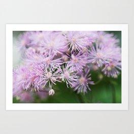Lavender Mist Meadow Rue - Thalictrum rochebrunianum 4 Art Print