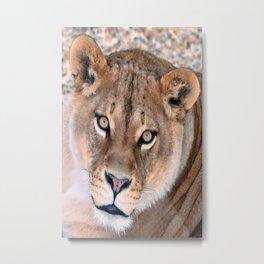 Lioness - Queen of a Pride  Metal Print