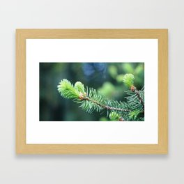 Spruce branch in spring. Framed Art Print