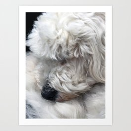 Charlie the Golden Doodle Curled Up In A Ball Art Print
