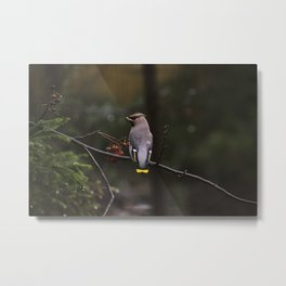 Bohemian waxwing on rowan tree branch Metal Print