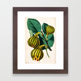 Fig plant, vintage illustration Framed Art Print