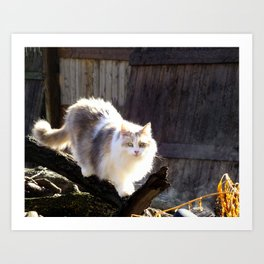 The Beautiful Maine Coon Dilute Calico Art Print