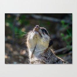 Meerkat. Canvas Print