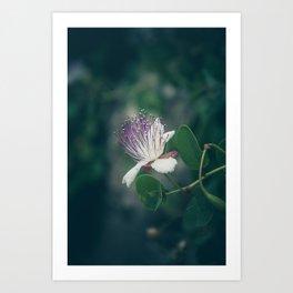 Caper flower Art Print