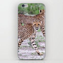 Young cheetahs, Namibia wildlife iPhone Skin