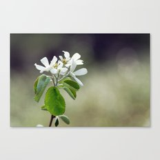 Malus flowers - spring 30 Canvas Print