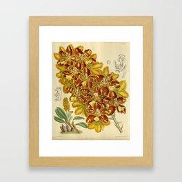Odontoglossum chiriquense/Otoglossum chiriquense, Orchidaceae Framed Art Print