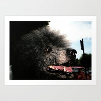 poodle Art Prints featuring poodle by Richard PJ Lambert