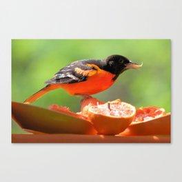 Orange & Black (Baltimore Oriole) Canvas Print