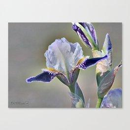 Miniature Tall Bearded Iris named Consummation Canvas Print
