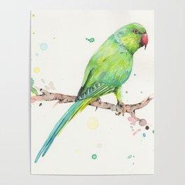 Rose Ringed Parakeet Poster